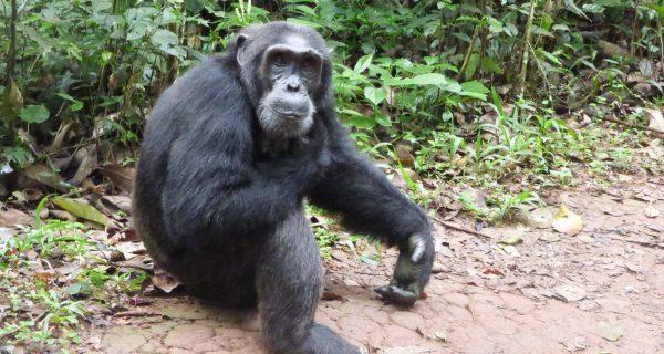 1 Day Trip Ngamba Island Chimpanzee Sanctuary, Day and overnight visit