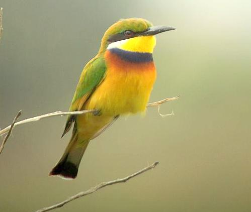 Blue breasted Bee eater kazinga channel uganda safari