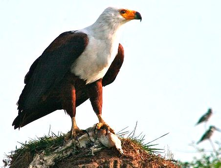 african-fish-eagle-kazinga channel Uganda