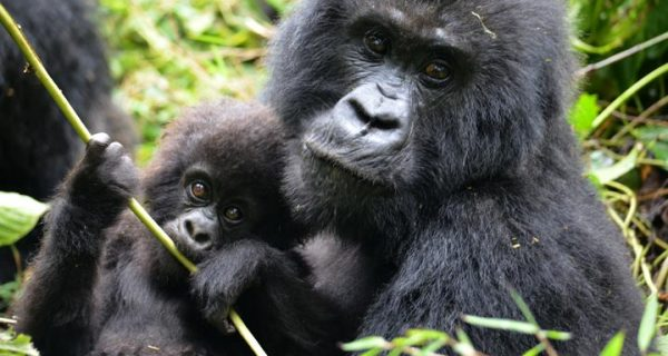 6 Days Gorillas Wildlife Rwanda