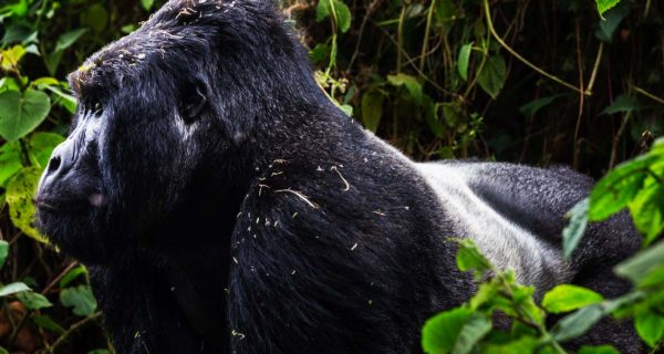 3 days gorillas Rwanda Trekking Mountain Gorillas