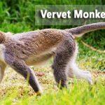 ververt monkey in Maramagambo Forest