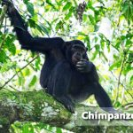 chimpazee in Maramagambo Forest