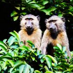Baboons in Maramagambo Forest