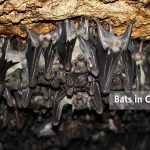 Bats in Maramagambo Forest Caves