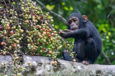 9 days wildlife Uganda Safari, Chimpanzee tracking