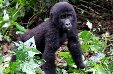 Gorilla Tracking Reserves Sectors in Africa - Uganda