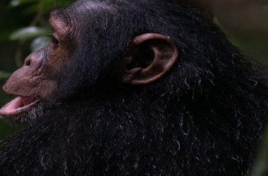 2 days tracking chimpanzees