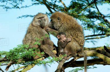Uganda Olive baboons, vermins Species, primates Safari