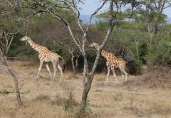 Lake Mburo National Park wild giraffee