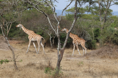 Lake Mburo National Park wild giraffee