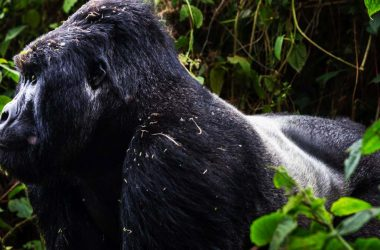 3 days gorillas Rwanda Trekking Mountain Gorillas