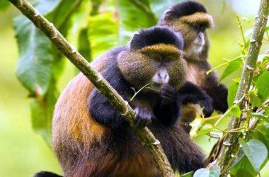 2 Days Golden Monkey Tracking Uganda Rwanda Congo