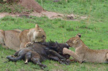 3 days Uganda safari, Kibale National Park, Queen elizabeth National Park