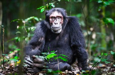 Chimpanzees Apes - Chimpanzee Tracking Uganda