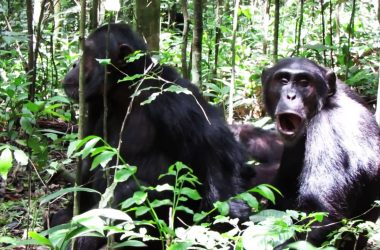 Chimpanzee Tracking Budongo Forest