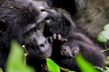 Uganda Mountain Gorilla Habitats, Best destination for Gorilla Watching Safaris