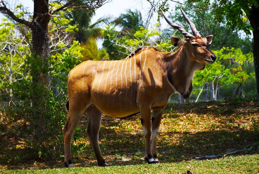 Giant eland wildlife Species Uganda Africa, Animals in Uganda Parks