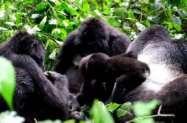 Gorilla Tracking Bwindi Uganda, Rwanda, Bwindi Forest,