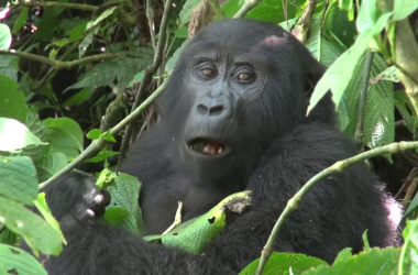 Mountain Gorillas Families of Gorillas in Uganda