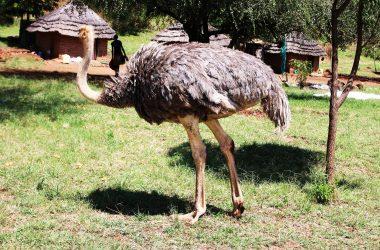 Birding Uganda Safari